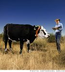 """Cow with """"Ear-a-Round"""" GPS device -- for tracking valuable assets, after all"""