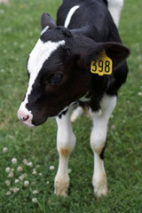 Standard ear tag on calf -- picture from Destron Fearing.  RFID chips are implanted and not visible.